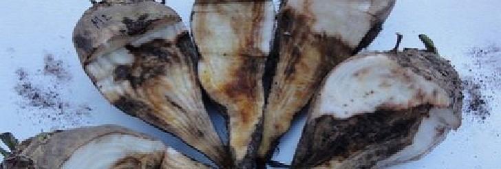 trulež srca i korena šećerne repe