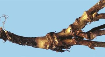 Vlažna trulež korena (Phytophthora megasperma)