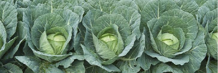 Kasni kupus (Brassica oleracea var. capitata) tehnika gajenja, kalendarski prikaz radova sa spiskom bolesti i štetočina
