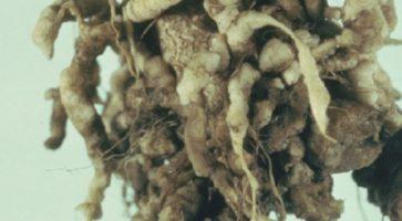 Kila kupusa (Plasmodiophora brassicae)