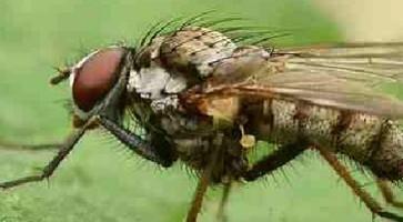 Kupusna muva (Phorbia brassicae)
