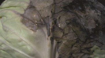 Plamenjača kupusa i kupusnjača (Peronospora parasitica)