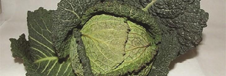Ran kelj (Brassica oleracea var. sabauda) tehnika gajenja, kalendarski prikaz radova sa spiskom bolesti i štetočina