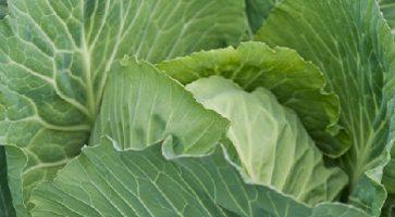Ran kupus (Brassica oleracea var. capitata) tehnika gajenja, kalendarski prikaz radova sa spiskom bolesti i štetočina