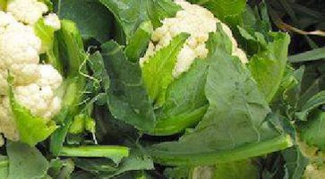Srednje ran Karfiol (Brassica oleracea var. botrytis) tehnika gajenja, kalendarski prikaz radova sa spiskom bolesti i štetočina
