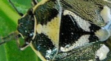 Zelena kupusna stenica (Euridema oleracea)