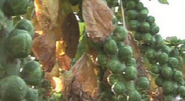 Zimski kelj pupčar (Brassica oleracea var. sp.) tehnika gajenja, kalendarski prikaz radova sa spiskom bolesti i štetočina