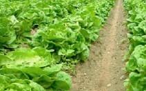 Jesenja salata (Lactuca sativa) tehnika gajenja, kalendarski prikaz radova sa spiskom bolesti i štetočina