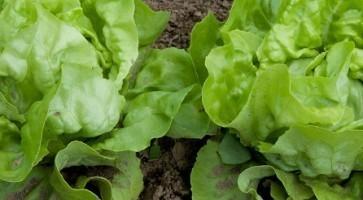 Rana salata (Lactuca sativa) tehnika gajenja, kalendarski prikaz radova sa spiskom bolesti i štetočina