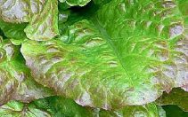 Bolest poleganja rasada (Phytum sp. , Rhizoctonia spp. , Fuzarium spp. , Phytophtora spp. , Sclerotinia spp.) opis bolesti i kako je suzbiti