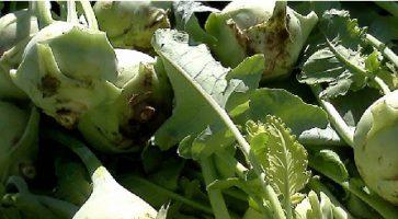 Kasna keleraba (Brassica oleracea var. gongydes) tehnika gajenja, kalendarski prikaz radova sa spiskom bolesti i štetočina