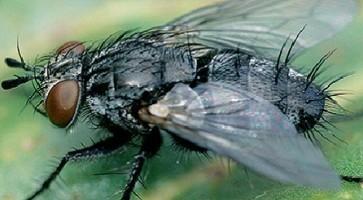 Repina muva (Pegomya betae) opis štetočine i mera borbe