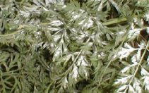 Pepelnica apiaca (Erysiphe heraclei) opis bolesti i kako je suzbiti