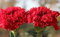 Karanfil (Dianthus sp.)