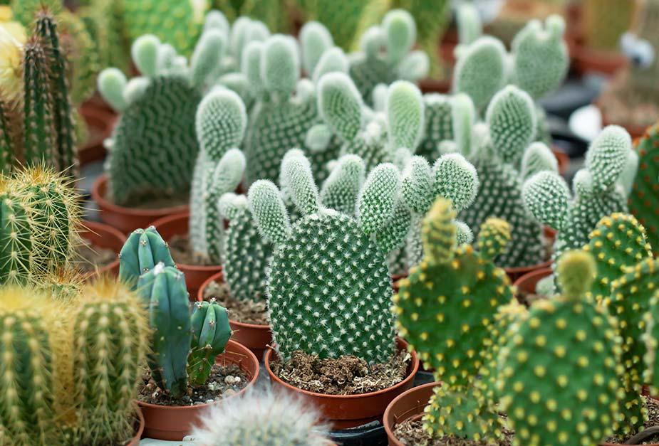 sto na kojem se nalazi veći broj kaktusa