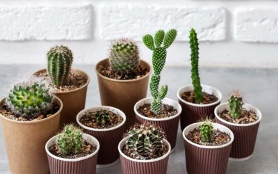 Mini kaktusi za maksimalno uživanje