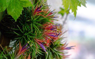 Tilandsija – lebdeća biljka
