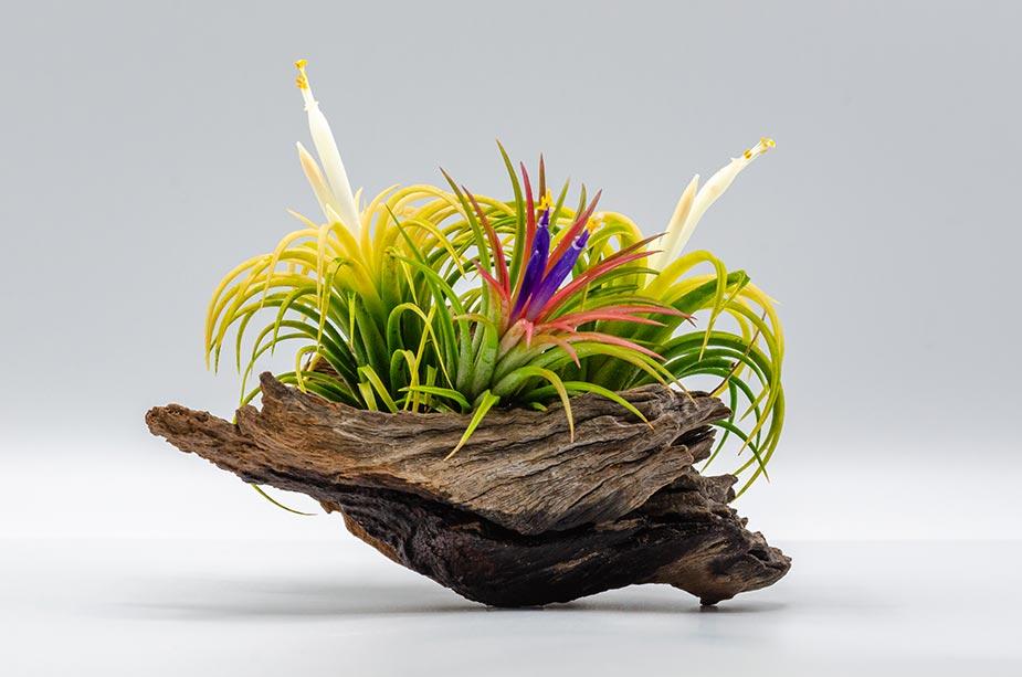 Ukrasna lebdeća biljka na panju